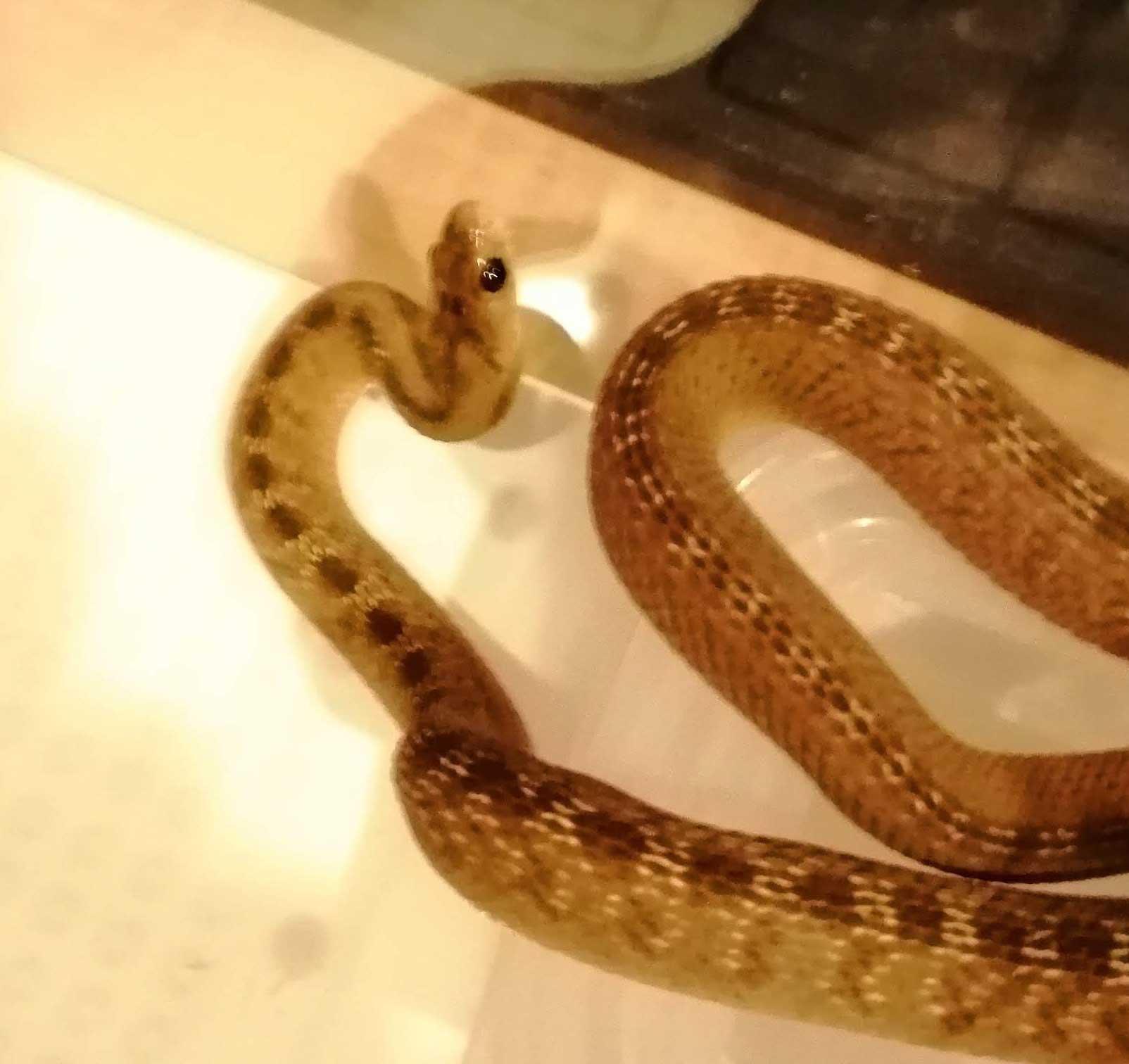 タマゴヘビ