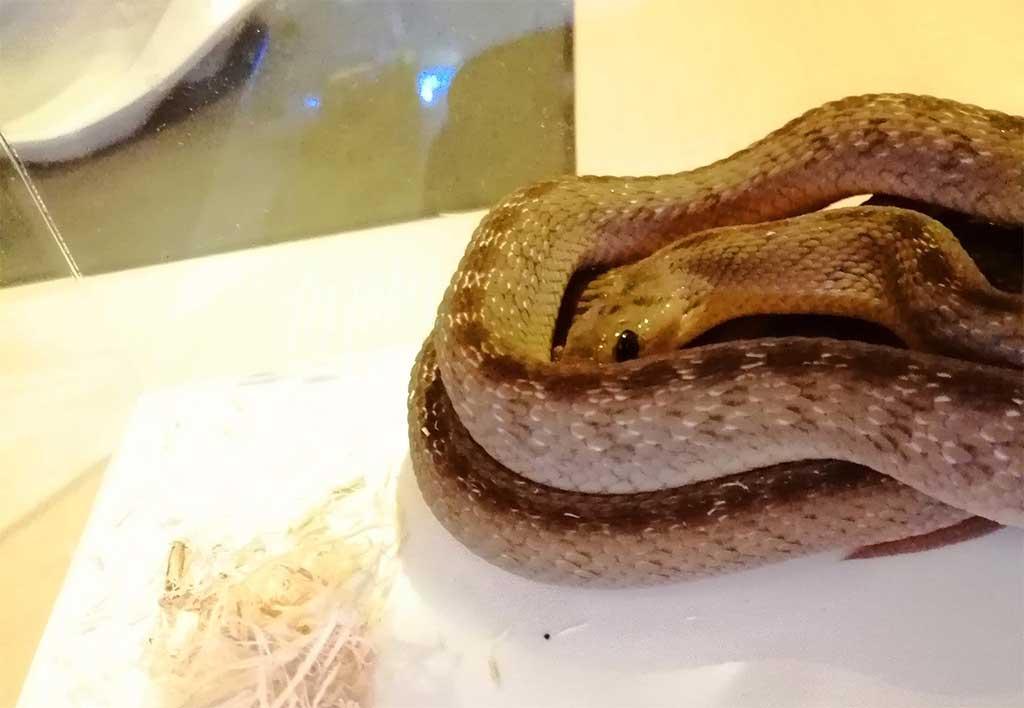 タマゴヘビの色